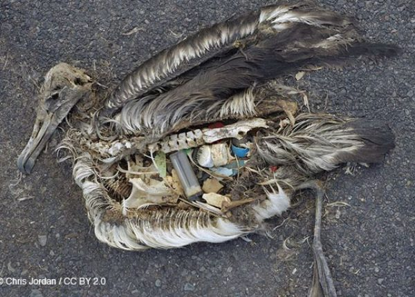 Photo depicting the unaltered stomach contents of a dead albatross chick photographed on Midway Atoll National Wildlife Refuge in the Pacific in September 2009 include plastic marine debris fed the chick by its parents.