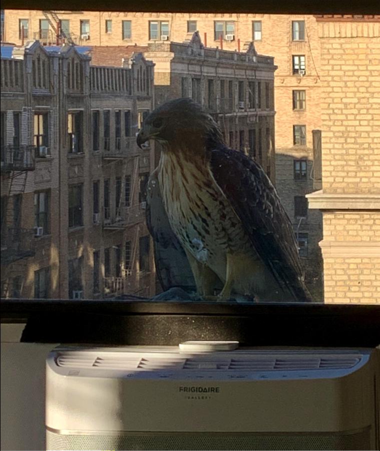 red hawk peering into the window