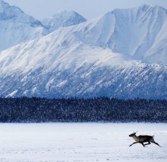 Caribou in the Alaska National Wildlife Reserve